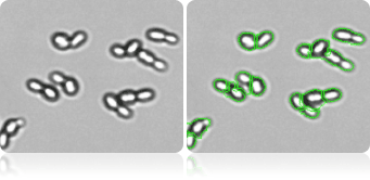 Decluster budding yeast cell image for Cellometer X2, yeast viability assay
