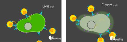 Celigo live and dead target tumor cell