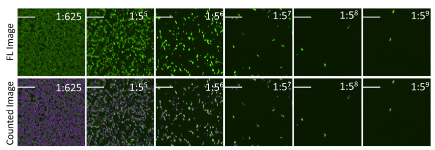fluorescent images show the counting of Dylight 488 positive infected cells