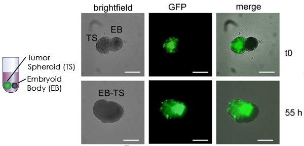 Images of Confrontation between a Multicellular Tumor Spheroid and an Embryoid Body