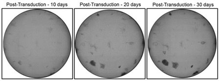 Colony formation post transduction
