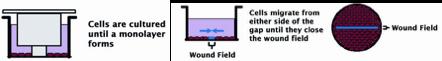 wound healing using Schwann and HUVEC