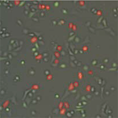 Cell Image: RFP fluorescent