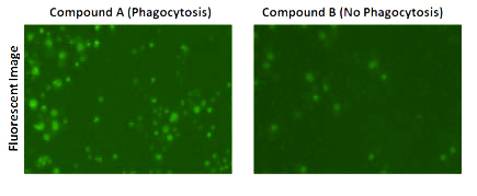 Images of Dextran pHrodo phagocytosis