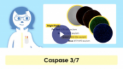 Kinetic Apoptosis Assay Using Caspase 3/7 and Suspension Jurkat Cells