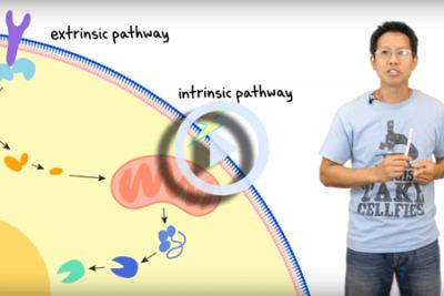 understanding the apoptosis assay