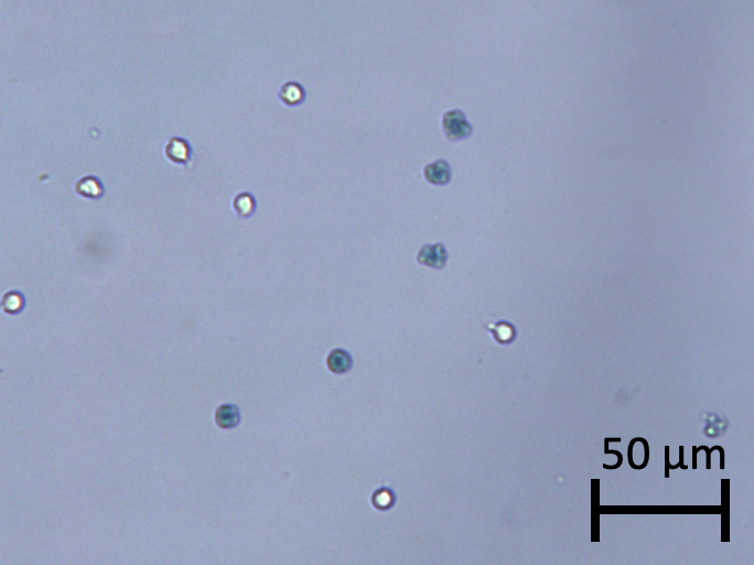 heat killed cells stained with trypan blue