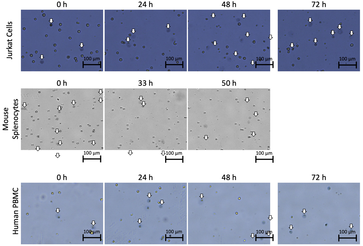 cell images showing morphological changes when stained with trypan blue