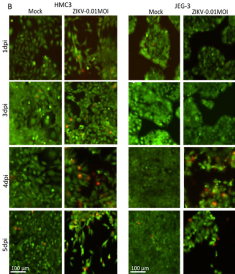 zika virus green fluorescent cell image