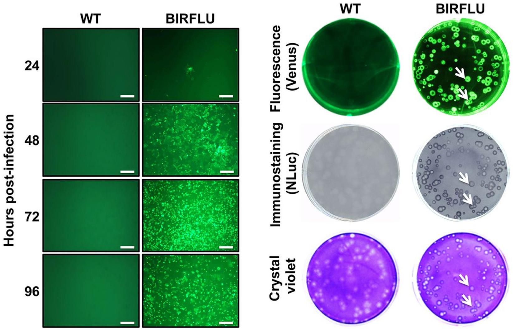 MDCK cells infected Influenza virus