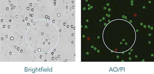 Brightfield vs AO/PI