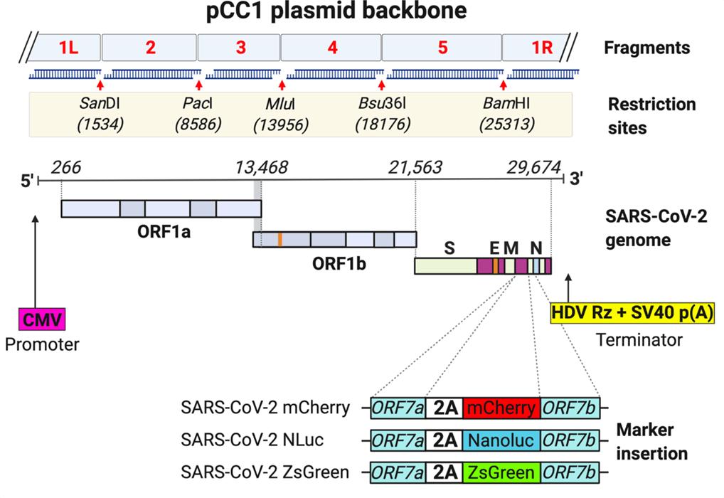 Schematic plasmid icDNA of SARS-CoV-2