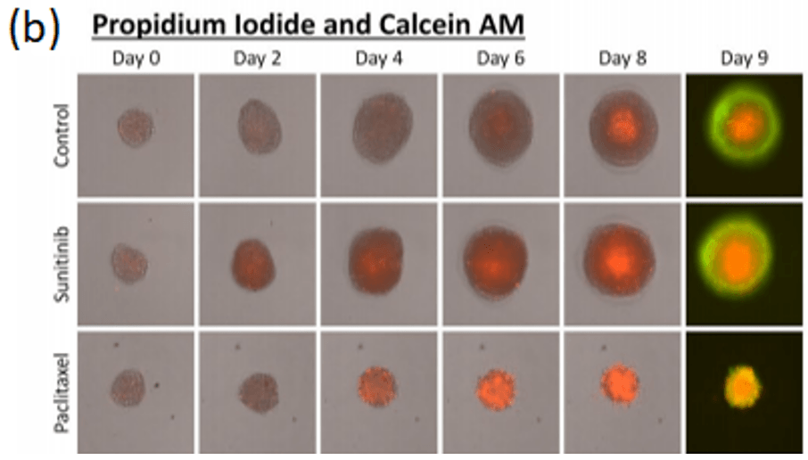 3d spheroids pi and Calcein AM