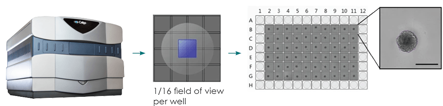 Typical imaging workflow for brightfield imaging of 3D spheroids