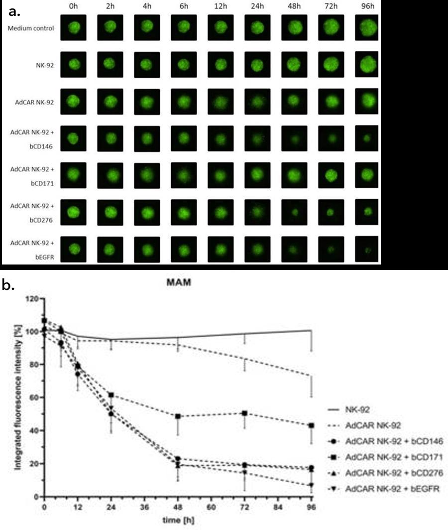 NK-cell mediated lysis of 3D tumor spheroids